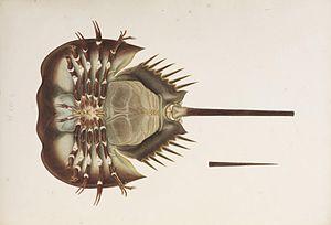 Tachypleus tridentatus - Tridentatus drawn and painted by Kawahara Keiga, 1823-1829
