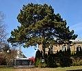 Naturdenkmal 583 Schwarzkiefer.JPG