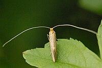 Nematopogon.metaxella.-.lindsey.jpg
