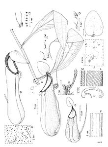Nepenthes kitanglad botanical illustration.jpg