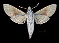 Nephele subvaria MHNT CUT 2010 0 141 Queensland male ventral.jpg