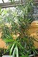 Nerium oleander 11zz.jpg