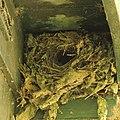 Nest van winterkoninkje (Troglodytes troglodytes) 01.JPG
