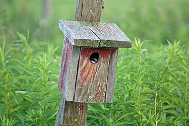 Nesting Tree Swallow in Herkimer County, New York 2.jpg
