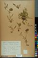 Neuchâtel Herbarium - Anthyllis cherleri - NEU000034025.jpg