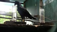 File:New-Caledonian-Crows-Learn-the-Functional-Properties-of-Novel-Tool-Types-pone.0026887.s001.ogv