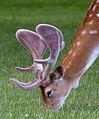 New Antlers (5862594927).jpg