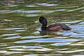 New Zealand Scaup - New Zealand (39171796392).jpg
