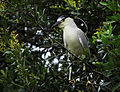 Night Heron at Indian River Lagoon, New Smyrna Beach, Florida - Flickr - Andrea Westmoreland.jpg