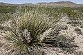 Nolina texana - Flickr - aspidoscelis.jpg