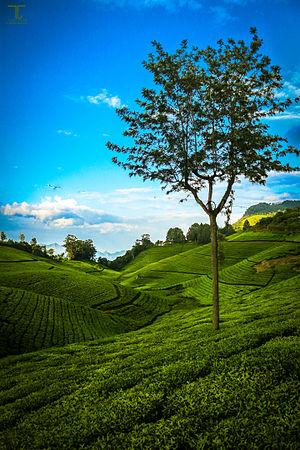 Coonoor - Tea Estate In Coonoor, Nilgiris