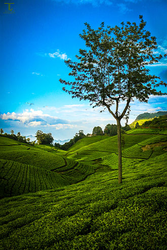 Nilgiri tea - Tea Estate In Coonoor, Nilgiris