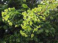 Noorse esdoorn bloeiwijze (Acer platanoides inflorescens).jpg