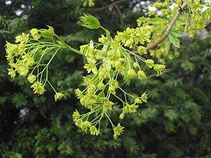 Noorse esdoorn bloeiwijze (Acer platanoides inflorescens)