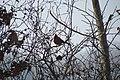 Northern Cardinal, male (23344081911).jpg