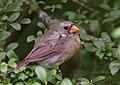Northern Cardinal (44125958485).jpg