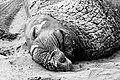 Northern Elephant Seal (Mirounga angustirostris) (8031589252).jpg