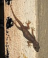 Northern House Gecko Hemidactylus flaviviridis by Dr. Raju Kasambe DSCN8741 (1) 01.jpg