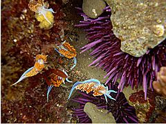 Nudibranches and sea urchin.jpg