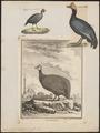 Numida meleagris - 1700-1880 - Print - Iconographia Zoologica - Special Collections University of Amsterdam - UBA01 IZ16900328.tif