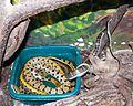 Nyíregyháza Zoo - Elapha taeniuras frisei.jpg