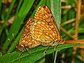 Nymphalidae - Euphydryas aurinia-002.JPG