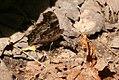 Nymphalis vaualbum, Compton Tortoiseshell, underside, Bruce WI.jpg