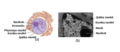 OSC Microbio 03 04 Nucleolus ku.png