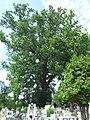 Oak Osie.jpg
