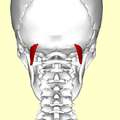Obliquus capitis superior muscle05.png