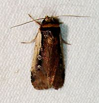 Ochropleura implecta – Flame-shouldered Dart Moth.jpg
