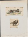 Odontophorus dentatus - 1700-1880 - Print - Iconographia Zoologica - Special Collections University of Amsterdam - UBA01 IZ17100193.tif