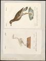 Oedicnemus crepitans - 1700-1880 - Print - Iconographia Zoologica - Special Collections University of Amsterdam - UBA01 IZ17200087.tif