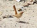 Oiseaux d'Egypte - le desert Est - panoramio.jpg
