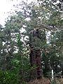 "Old Japanese cedar tree""Ubasugi"" at Kuroki Suwa-jinja shrine in Soma city.JPG"