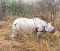 Old Rhino in Kaziranga.jpg