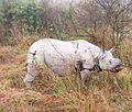 Old Rhino in Kaziranga.jpg
