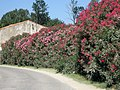 Oleander flowers. Route D85, near the Petit Rhône, Camargue, France. - panoramio.jpg