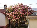 Oleander in blossom - panoramio.jpg
