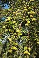 Olivenbaum (Olea europaea) 27.jpg