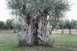 Olivenhain Alexandroupolis