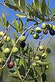 Olives (ARBEQUINE) CL1. J Weber (23158712562).jpg