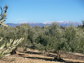Olive Trees (Van Gogh series) - Olive Trees in Provence, France
