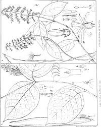 F. refracta (ovan)