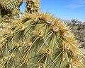 Opuntia chlorotica 4.jpg