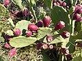 Opuntie mit Früchten.jpg