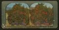 Orange Tree in Fruit and Bloom. Los Angeles, California, by Ingersoll, T. W. (Truman Ward), 1862-1922.png