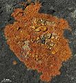 Orange aspicilioid lichen - Flickr - pellaea.jpg
