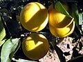 Oranges. Libya.jpg