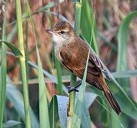 Oriental Reed Warbler (Acrocephalus orientalis) in Kolkata W IMG 3235
